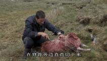 贝爷泥沼中捡到一只死羊,太累了,先生吃点心脏补充体力!