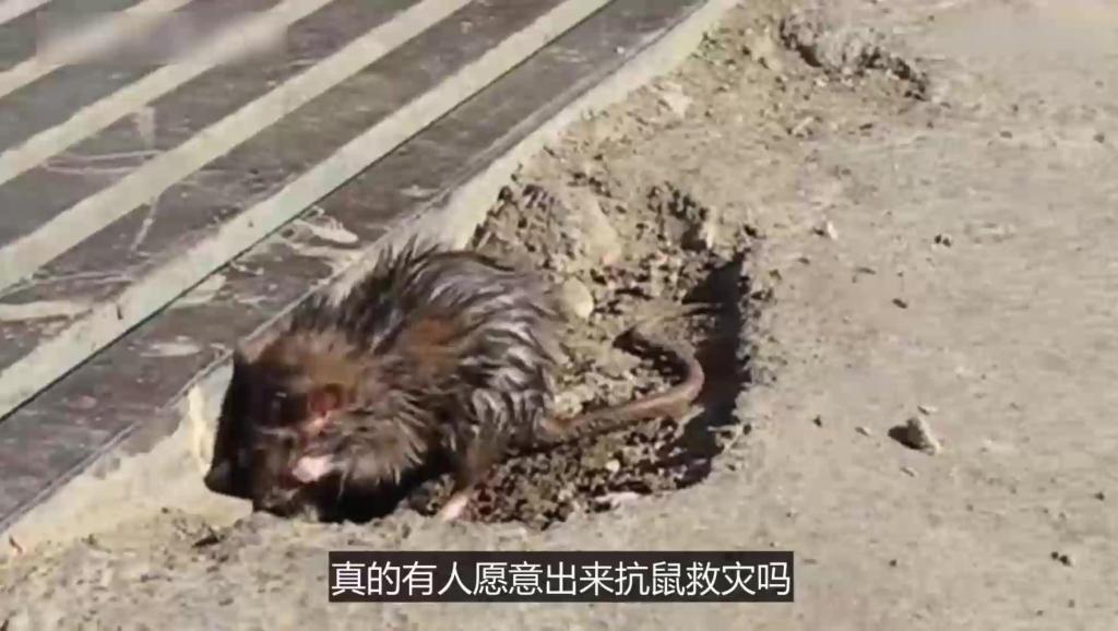 这个国家200万老鼠在街头横行,只好请狙击手来处理