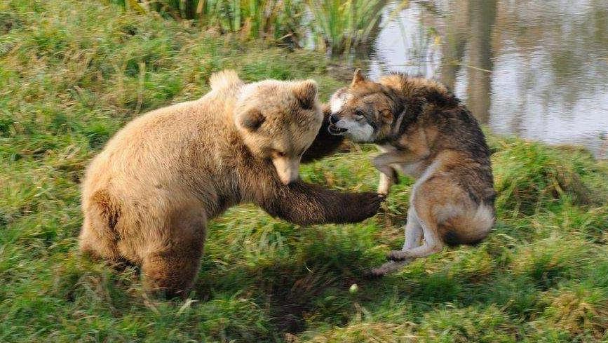 奇趣大自然20130326大棕熊 这庞大的食肉动物不仅具有