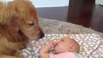 大金毛是全世界最耐心、最温柔,对宝宝最友好的狗狗,没有之一!