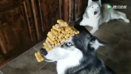 忍功了得! 二哈头顶这么多饼干说不吃就不吃!