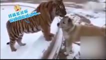 老虎: 我这样亲你,感动不...汪星人: 卧槽!讲真确实不敢动!
