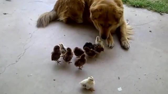 一窝小鸡仔遇到金毛 小鸡错认金毛当妈妈