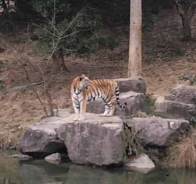 宁波雅戈尔动物园发生老虎咬人事件