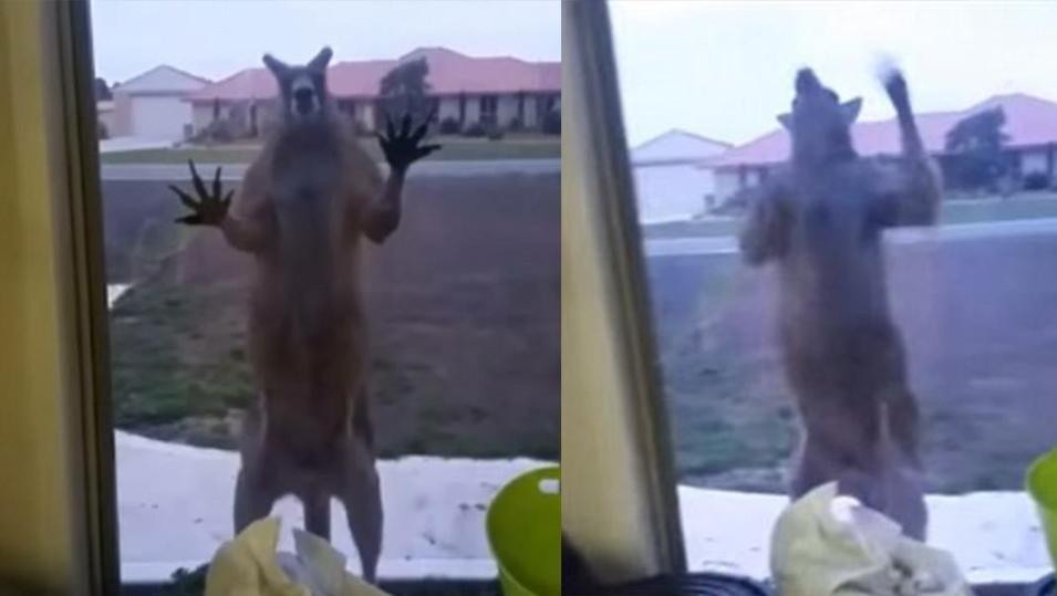 吓尿!女子独自在家 突遇肌肉袋鼠疯狂敲门