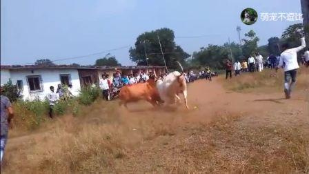两个村子相约斗牛, 黄牛化身推土机, 将白牛推倒在地, 村民惊呼