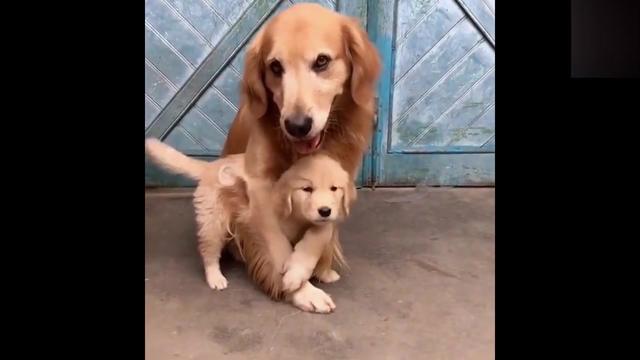 金毛妈妈看到主人正在打小金毛,结果它马上护住小金毛,好有爱