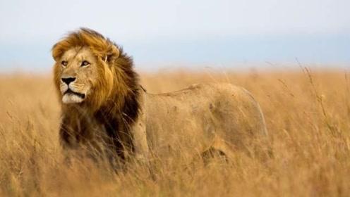 壁纸 动物 狮子 桌面 496_280