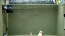社会事件: 男子把龙虾扔进养殖小食人鱼的鱼缸里后,出现了这一幕