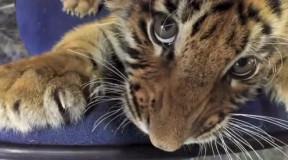 壁纸 动物 虎 老虎 猫 猫咪 小猫 桌面 496_280