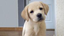 一个会做家务的狗狗