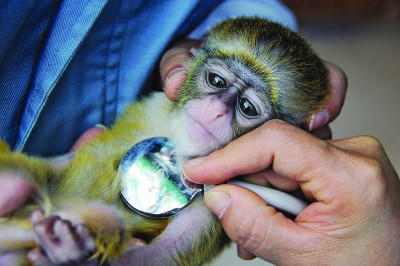 记者实拍动物园动物体检: 为老虎剪指甲给细尾獴称重