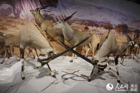 """展览从1400余件标本中遴选出100余件非洲野生动物标本,按照""""猎食者"""