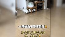 一只被兔子带坏的猫!猫咪: 你怎么那么走路?咦,我也会