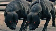 最凶猛的犬种,全是都是肌肉,20公斤重就可以单挑世界任何犬类