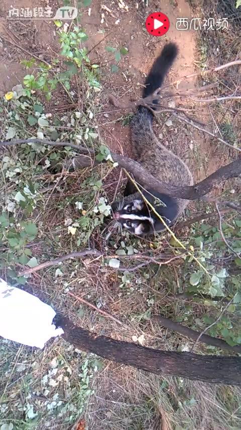 够勇敢的 打开 果子狸二级保护动物抓它违法,奉劝群友放生,以免警察