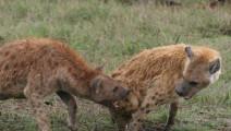 非洲鬣狗究竟有多凶?为了一根骨头竟把同伴活活咬死,连狮子都比不上它