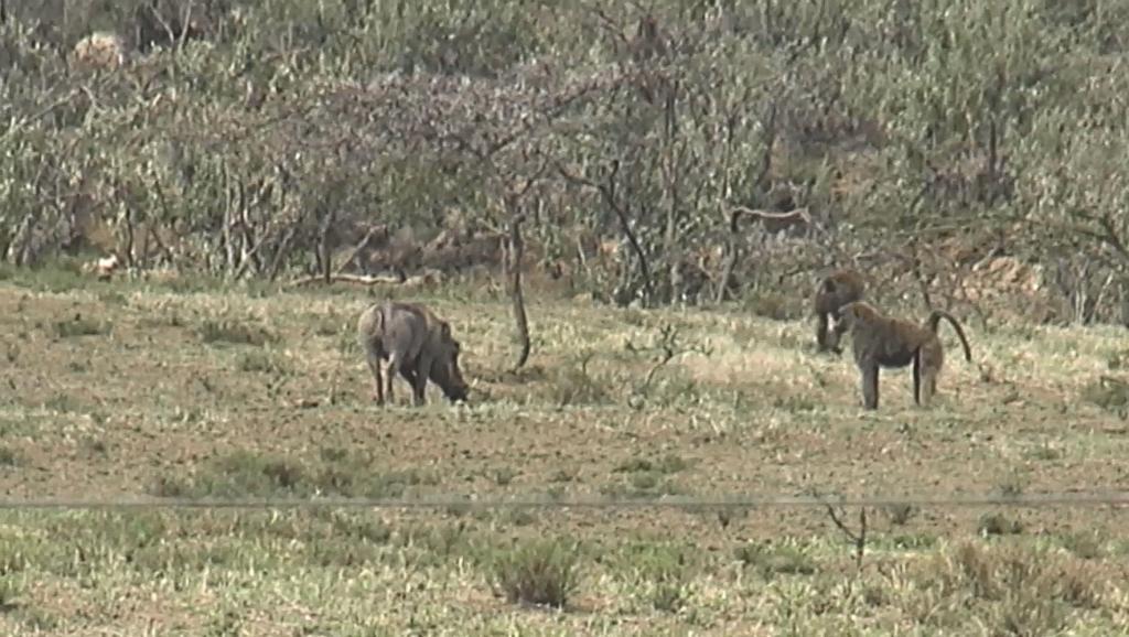 非洲大陆实拍狒狒PK豪猪,尘土飞扬激战惨烈