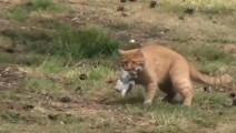 猫抓老鼠是见过不少,但是抓兔子还是头一次见