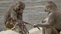 狒狒拥有庞大后宫,春天里兴致大发连猫狗都要被狒狒羞辱一番!