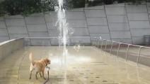 狗狗追着喷泉的水柱跑,以为是什么新玩意