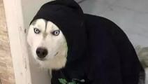 年度傻狗排行榜,第一名居然不是哈士奇