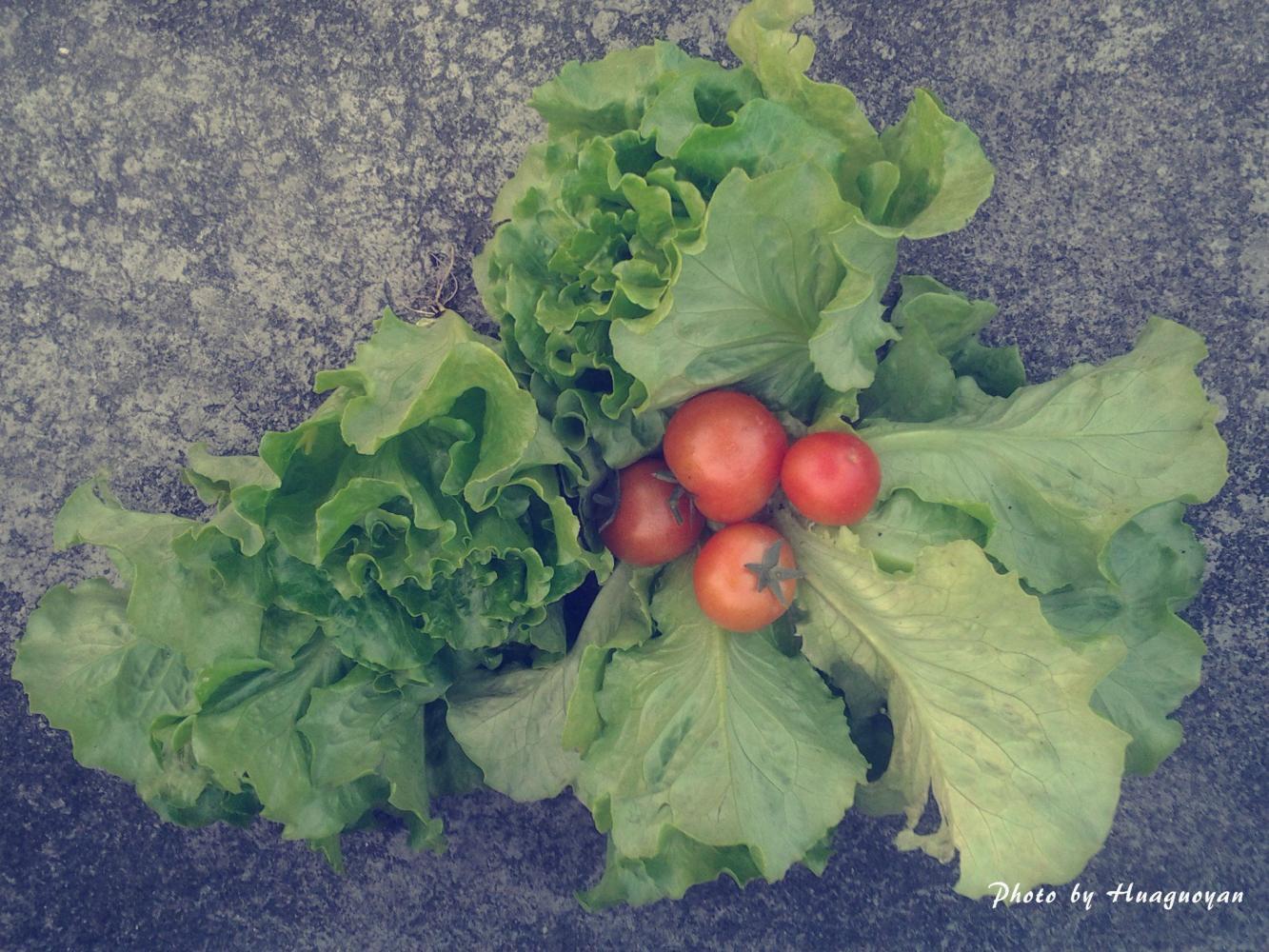 开始动手: 生菜苗定植,生菜是30天前播的种,一个小穴盆放入三粒种子,若出的都是壮苗则分苗种植,过弱则淘汰。我喜欢用这种小穴盆播种,好处有很多,如:若种子发芽后遇恶劣天气能容易搬回室内躲避寒流雨雪;若遇天气不好,种在大盆的蔬菜生长缓慢,不能预期收获以腾出花盆或位置时,那些可以定植的小苗还能呆在小穴盆内正常生长一段时间。