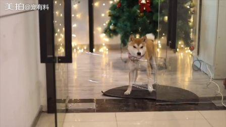 在狗狗必经之路的门框贴上透明胶带,边牧,萨摩耶,柴犬,金毛会