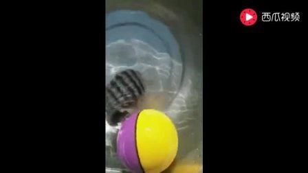 这是什么鱼, 会自己在水里玩球