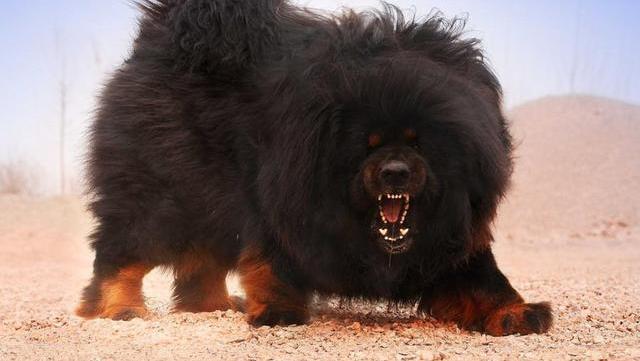 盘点世界10大最凶猛的狗,藏獒只能排第8,疯起来连主人都敢咬