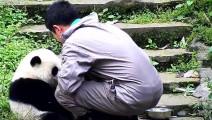 我的天呢。。。。。这只熊猫真是成精了