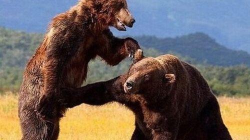 陆生猛兽 杀老虎、狮子充饥