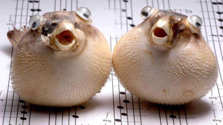 你以为河豚很可爱?36秒开始高能,它才是真正的水中杀手