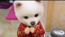 这只博美狗狗已经成功萌化了万千网友的心,被称为最萌犬