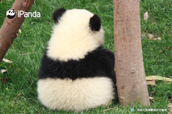 壁纸 大熊猫 动物 600_400