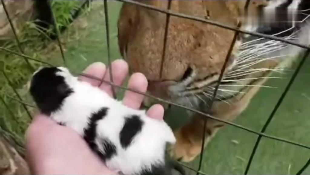 主人把刚出生的小猫咪放到老虎面前,猜猜看老虎会怎样?