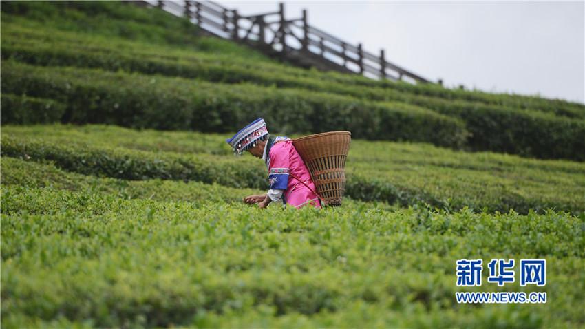 图为采茶工在湖北省宣恩县万寨乡伍家台村的茶叶基地采茶 新华网 欧阳