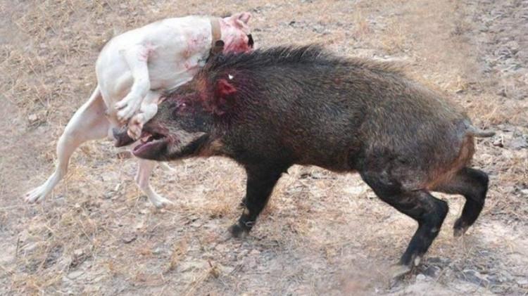 4条杜高犬平时太嚣张,这只野猪用行动告诉猎狗,这才叫真正的实力!