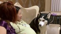 女主人怀孕了,妈妈要摸摸她肚子,哈士奇的反应太赞了