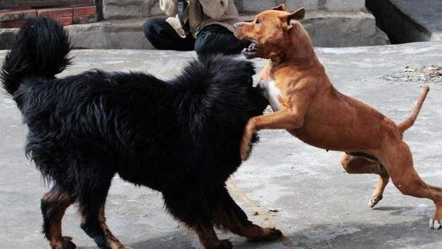美国比特犬打架难寻敌手,在中国农村却被一只杂交藏獒给吊打了