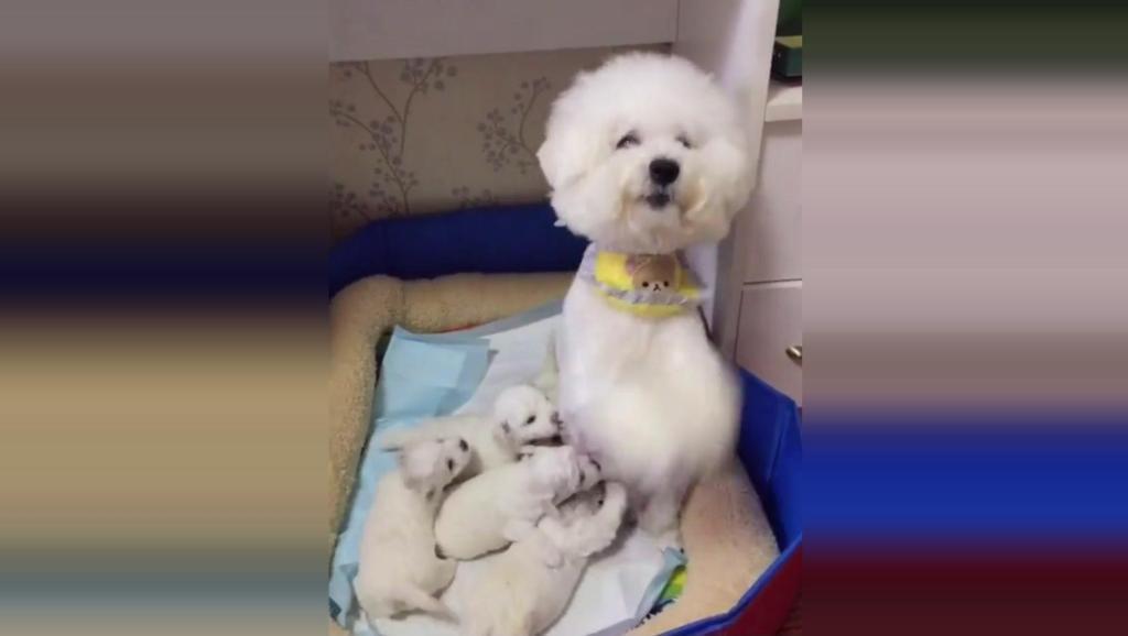 狗狗给孩子们喂完奶后,求主人给自己吃的,看的好心酸啊!