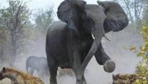 小象被鬣狗咬掉尾巴 母象一怒之下横扫仇人