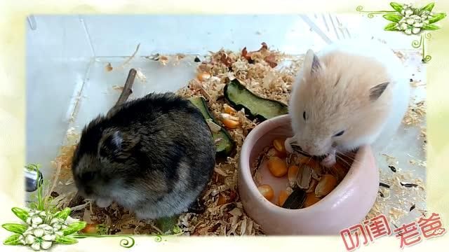 打开 打开 小仓鼠长大了,会自己嗑瓜子了!萌萌的样子超级可爱!