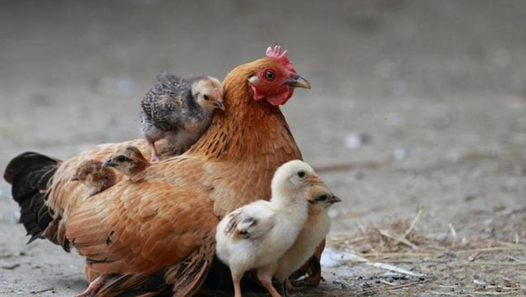 鸡为什么晚上会自觉进笼子?