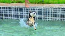 二哈被主人送去上游泳课,秒怂!吵架的声音都在颤抖~巨搞笑!