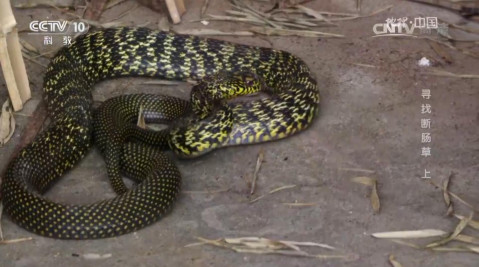 这条一米左右的眼镜蛇,毒性极大,是蛇医陈扬发在村里抓到的