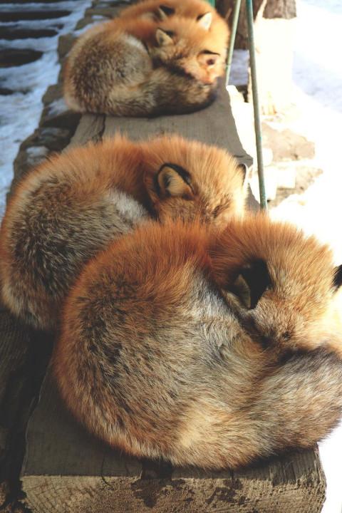 """遍地动物不怕人! 揭秘日本""""狐狸村"""""""