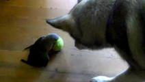 鹦鹉强抢狗狗网球,它掉头就跑的话,肯定是回家叫猫去了
