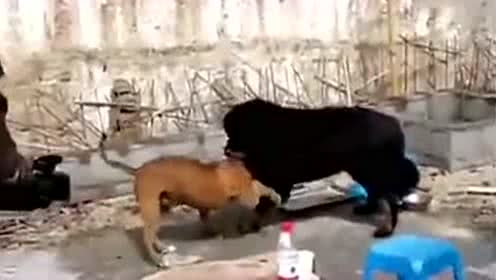 中国藏獒大战美国比特犬,结局很惨!