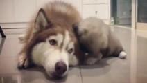 小狗狗狂蹭哈士奇: 小崽子,赶紧走开,不然让你见鬼?